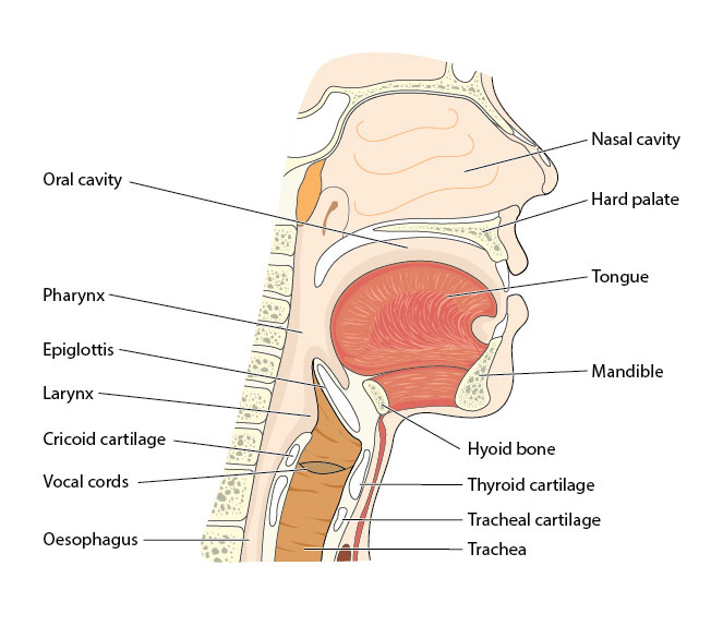 Human oral anatomy.
